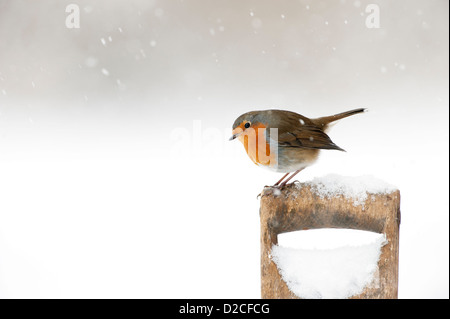 Robin ( Erithacus rubecula) in the snow on an old spade handle - Stock Photo