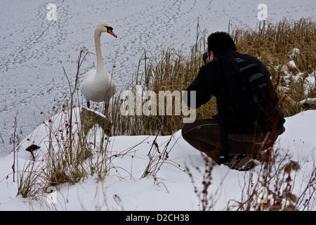 Taking photographs of a Mute Swan standing close by on a snow covered icy pond at Piperdam Country Park in Dundee,Uk - Stock Photo
