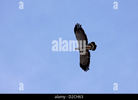 African harrier hawk in flight in The Gambia - Stock Photo