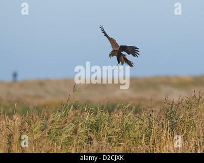 Marsh Harrier in flight - Stock Photo