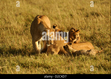 Lioness and cubs playing on the plains of the Maasai Mara - Stock Photo
