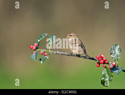 Female Lesser Redpoll. (Carduelis cabaret) Perched On Snow Covered Holly Berries. Winter. Uk - Stock Photo
