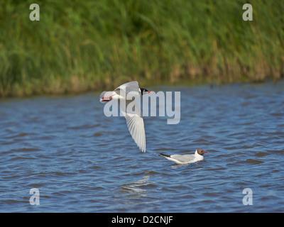Mediterranean Gull in flight - Stock Photo