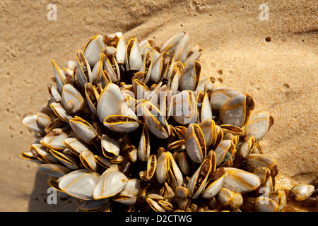 Barnacles washed ashore attached to a cuttlefish. - Stock Photo