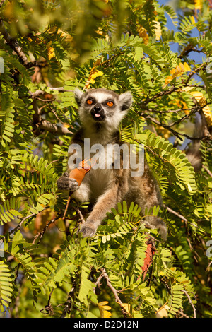 Ring tailed lemur, (Lemur catta) feeding - Stock Photo