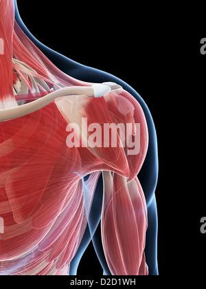 Male musculature computer artwork - Stock Photo