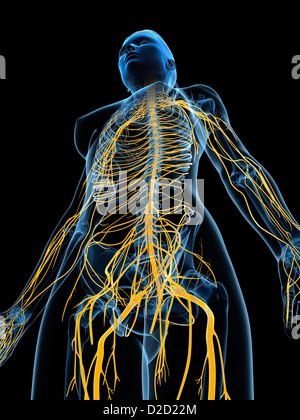 Female nervous system computer artwork - Stock Photo