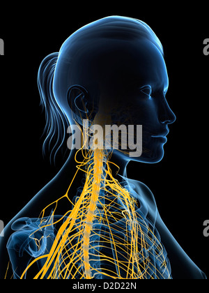 Female nervous system computer artwork head and shoulders - Stock Photo