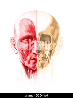 Human facial anatomy computer artwork - Stock Photo