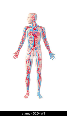 Human cardiovascular system computer artwork - Stock Photo