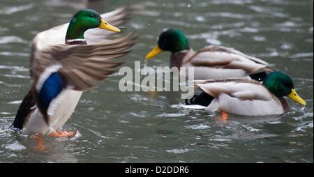 Mallard ducks swim in a pond in Lennépark in Frankfurt (Oder), Germany, 21 January 2013. Photo: Patrick Pleul - Stock Photo