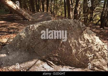 Upturned and toppled pine tree remains from great storm of 1987 in shallow chalk soil amongst yew trees - Stock Photo