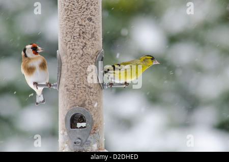 Eurasian or European Siskin [Carduelis spinus] and European Goldfinch [Carduelis carduelis] on bird feeder . Sunflower - Stock Photo