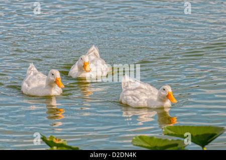 White Pekin Ducks at Lake Morton in Lakeland, Florida. - Stock Photo