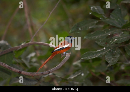 Hybrid paradise flycatcher in tree in The Gambia - Stock Photo