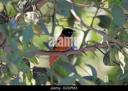 Red bellied paradise flycatcher in The gambia - Stock Photo