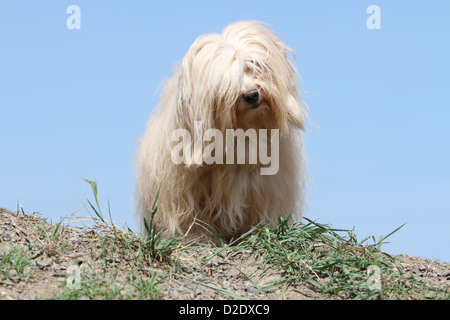 Dog Havanese / Bichon Havanais / Havaneser adult (cream) standing on the ground - Stock Photo