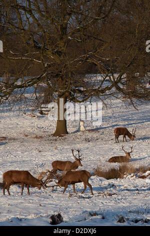 Richmond, London, UK. 21st Jan, 2013. Red deers enjoying the sun in the snowy Richmond Park - Stock Photo