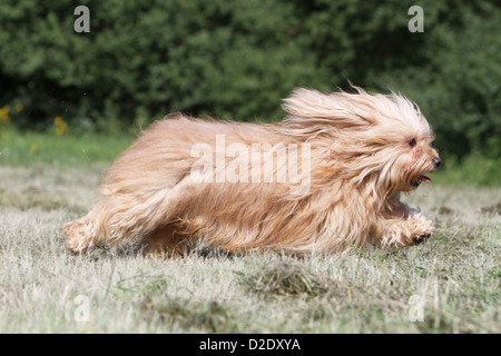 Dog Havanese / Bichon Havanais / Havaneser adult (fawn) running in a meadow - Stock Photo