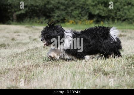 Dog Havanese / Bichon Havanais / Havaneser puppy (black and white) running in a meadow - Stock Photo