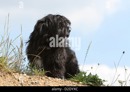 Dog Havanese / Bichon Havanais / Havaneser puppy (black) sitting on the ground - Stock Photo