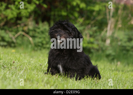 Dog Havanese / Bichon Havanais / Havaneser puppy (black) sitting in the grass - Stock Photo