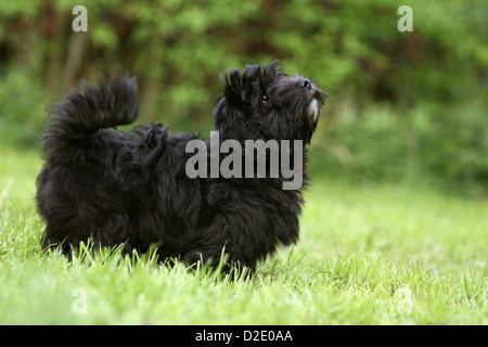 Dog Havanese / Bichon Havanais / Havaneser puppy (black) standing profile - Stock Photo