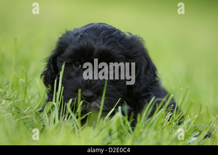 Dog Havanese / Bichon Havanais / Havaneser puppy (black) lying in the grass - Stock Photo