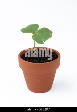 Cotton (Gossypium) seedling - Stock Photo