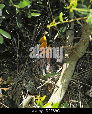 Very young mockingbirds in nest at Emerald Isle North Carolina - Stock Photo