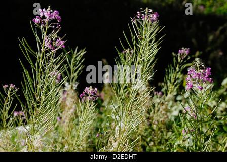 Chamaenerion angustifolium, seedheads of Rosebay Willowherb - Stock Photo