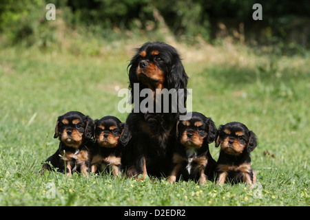 Dog Cavalier King Charles Spaniel adult and four puppies (black and tan) sitting in a meadow - Stock Photo