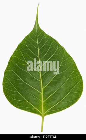 Close-up of a pipal leaf - Stock Photo