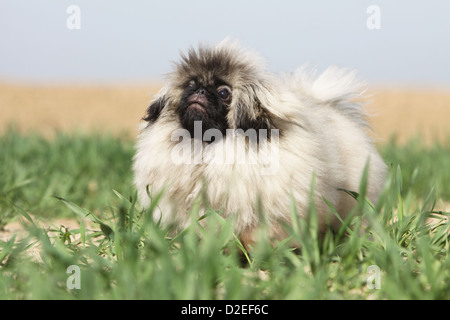 Dog Pekingese / Pekinese / Pékinois puppy standing in the grass - Stock Photo