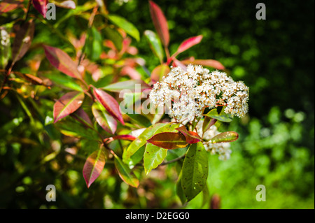 White flowers on Photinia x fraseri Red Robin in May - Stock Photo