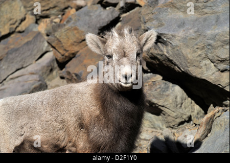 A portrait of a young bighorn sheep standing against a rock ledge - Stock Photo