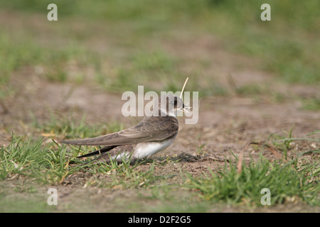 Sand Martin (Bank Swallow), Riparia riparia collecting nest lining - Stock Photo