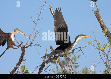 Long tailed cormorant immature bird flying from mixed roost with African darter in The Gambia - Stock Photo