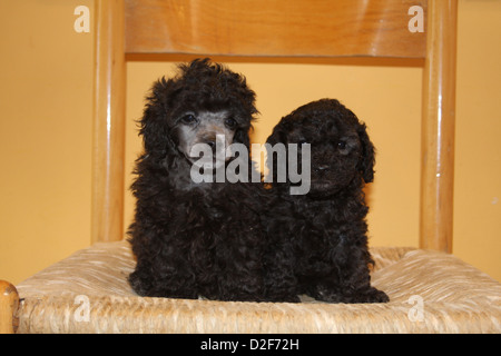 Dog Poodle / Pudel / Caniche , Toy  two puppies of different ages (black) sitting on a chair - Stock Photo