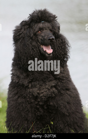 Dog Poodle / Pudel / Caniche  standard grande  adult (black) portrait - Stock Photo
