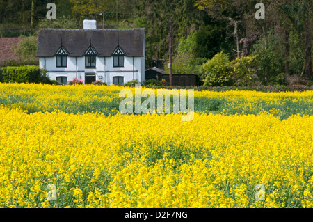 Pretty White Cottage & Yellow Rapeseed Field, Near Peckforton, Cheshire, England, UK - Stock Photo