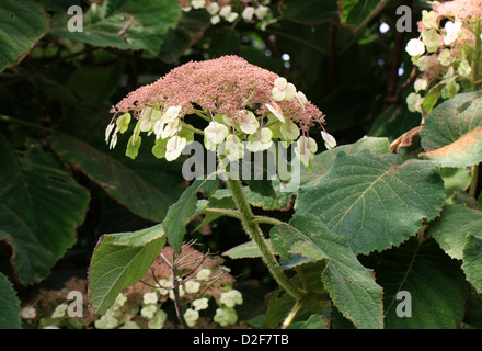 Sargent's Hydrangea or Lacecap, Hydrangea sargentiana, Hydrangeaceae, South and Central China. - Stock Photo