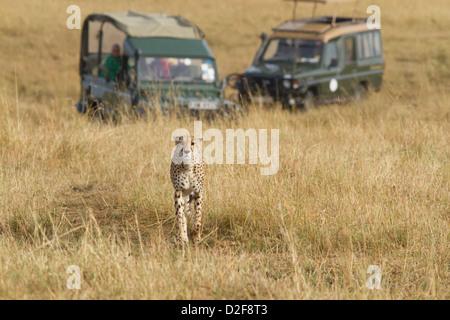 Cheetah walking in the grasslands of Masai Mara while being followed by two safari vehicles (Acinonyx Jubatus) - Stock Photo