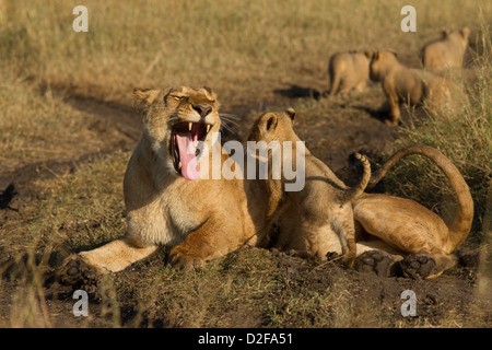 lioness yawing with cub climbing on her, Masai Mara, Kenya, Africa (panther leo) - Stock Photo
