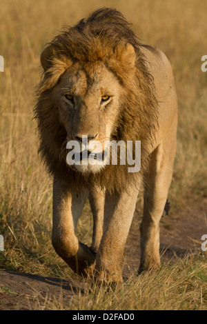 Black maned lion male walks on a track in Masai Mara, Kenya (Panther Leo) - Stock Photo