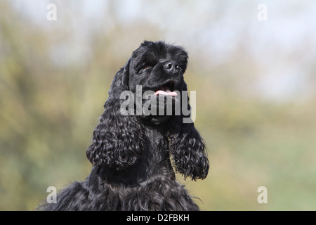 Dog American Cocker Spaniel adult (black) portrait - Stock Photo