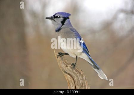 Blue Jay (Cyanocitta cristata) - Stock Photo