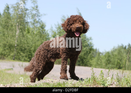 Dog Barbet / French Water Dog adult standing - Stock Photo