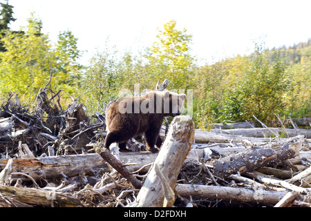 A grizzly runs off over fallen logs after being surprised on Lake Iliamna in Alaska - Stock Photo