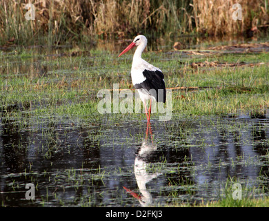 European White Stork (Ciconia ciconia) walking in a meadow in autumn and reflected in the water - Stock Photo